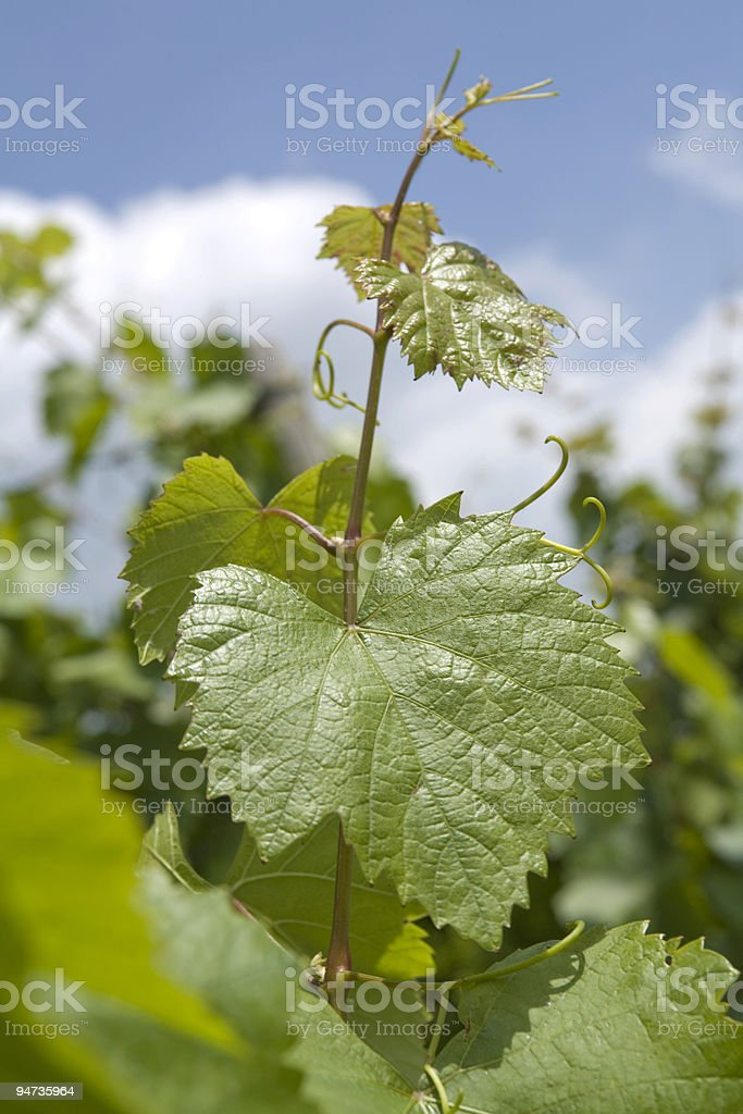 Grape leaf with blue sky royalty-free stock photo