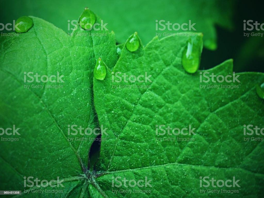 Feuille de vigne avec des gouttes de rosée. Feuille de vigne, goutte d'eau.   Belles gouttes d'eau de pluie - Photo de Abstrait libre de droits