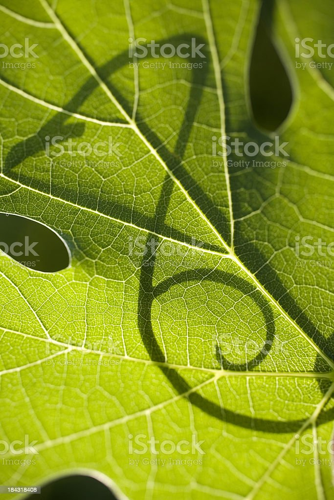 Grape leaf with shadow of a tendril stock photo
