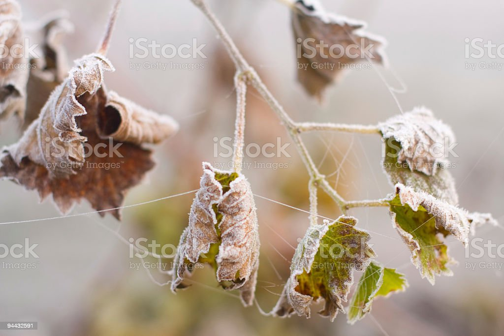 Grape leafs covered by ice royalty-free stock photo
