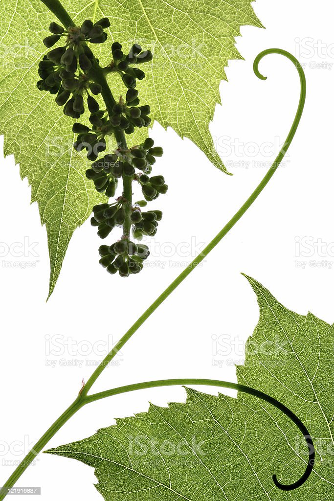 Grape leaves  and cluster royalty-free stock photo