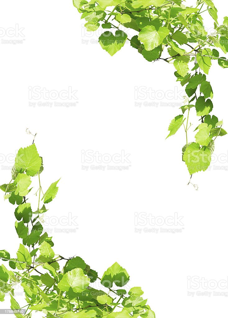 Grape leaves frame isolated on white stock photo