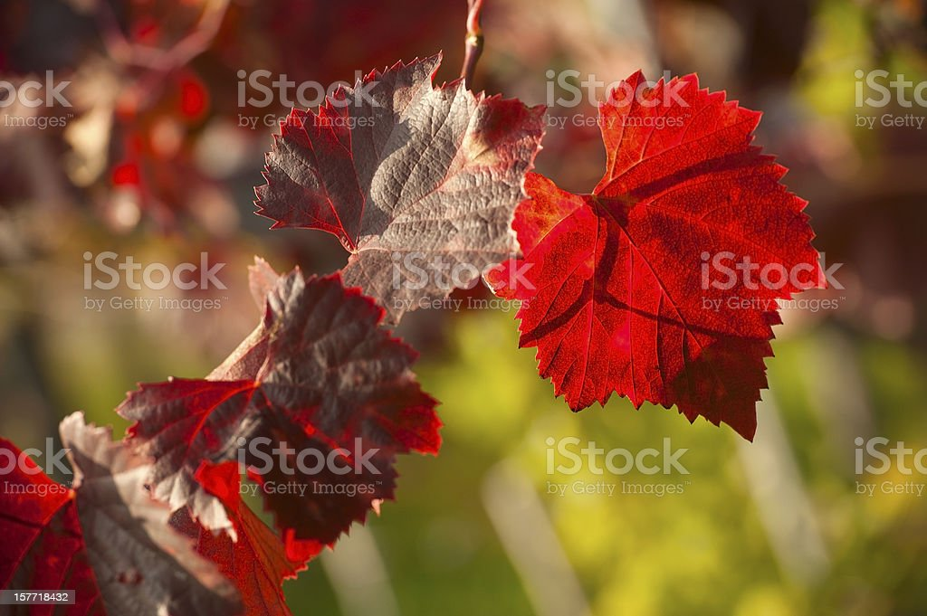 Grape Leaves in Autumn stock photo