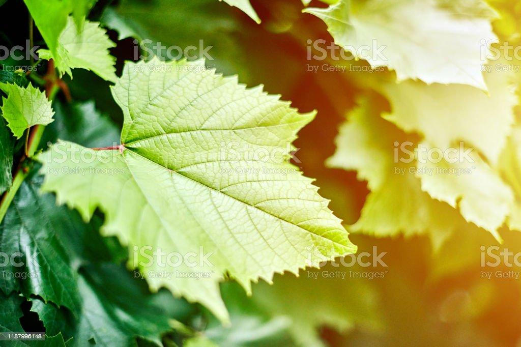 Grape leaves in vineyard. Green vine leaves at sunny september day....