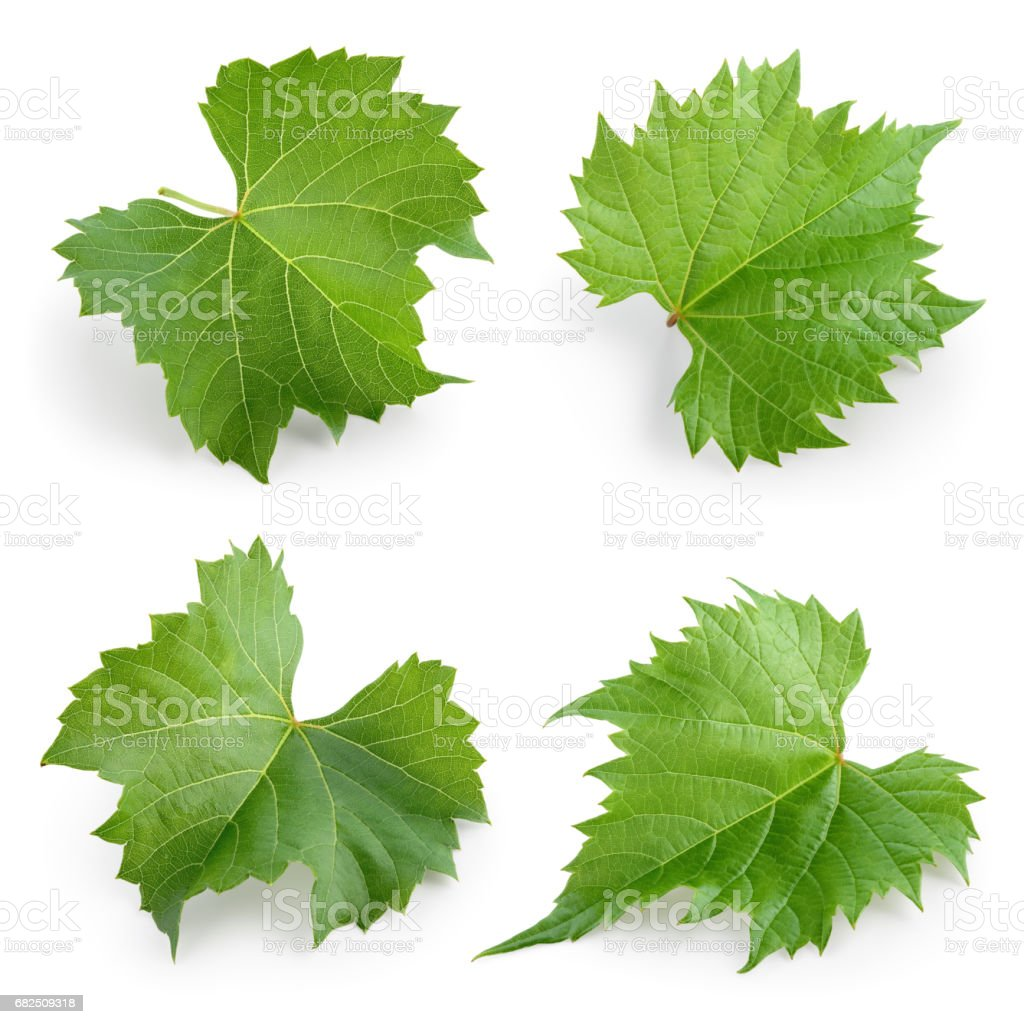 Grape leaves isolated on white. Collection. Full depth of field. royalty-free stock photo