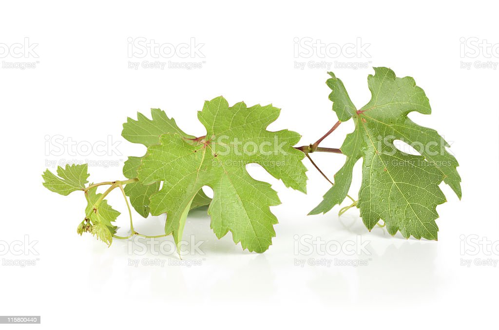 Grape leaves isolated stock photo