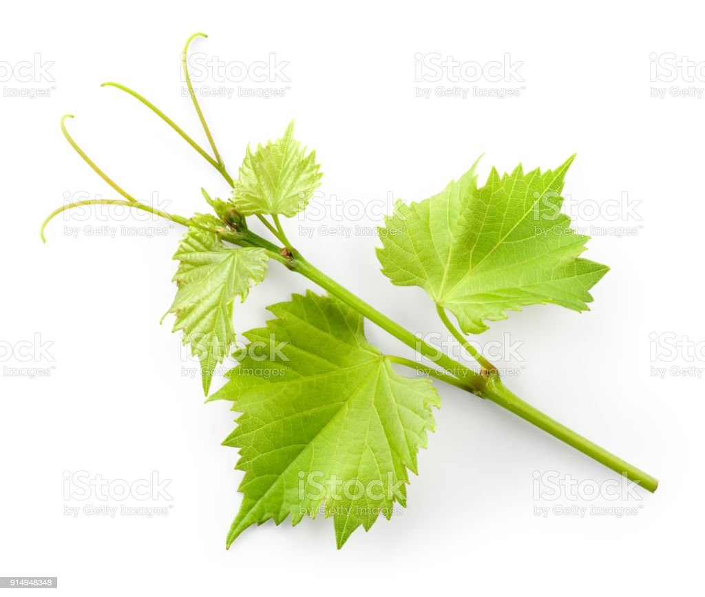 Grape Leaves On Branch With Tendrils Isolated On White Background Stock Photo Download Image Now Istock