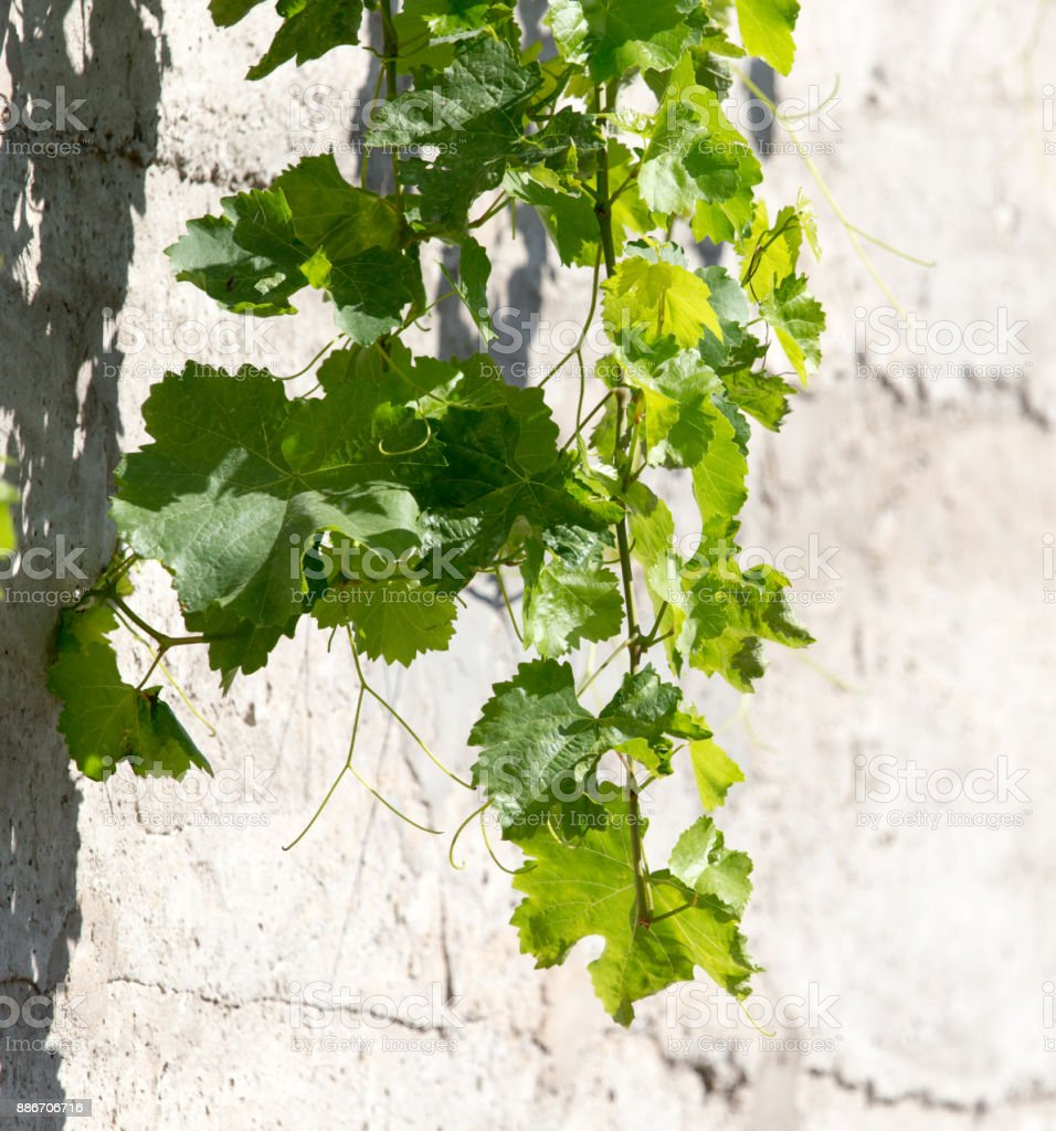 grape leaves on concrete background stock photo