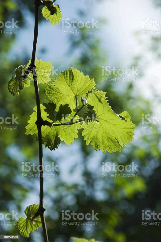 Grape leaves royalty-free stock photo