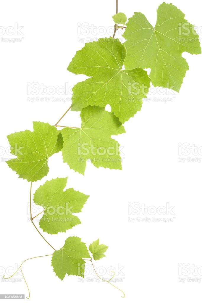 Grape Leaves Stock Photo Download Image Now Istock