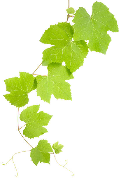 17 280 Grape Leaf Stock Photos Pictures Royalty Free Images Istock
