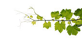 Grape leaves vine branch with tendrils isolated on white background, clipping path included.