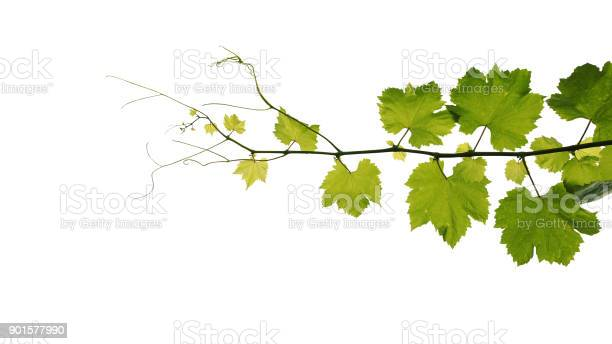 Grape leaves vine branch with tendrils isolated on white background picture id901577990?b=1&k=6&m=901577990&s=612x612&h=puwtokersif nabvch f1pwp9qcmbyhansmyu4aa74s=