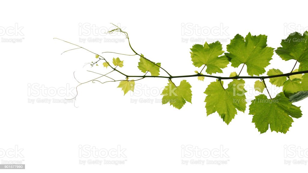 Grape leaves vine branch with tendrils isolated on white background, clipping path included. stock photo