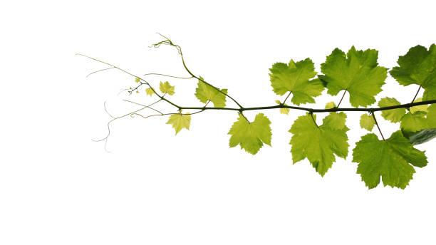 Weinblätter Rebe Zweig mit Ranken isoliert auf weißem Hintergrund, Clipping-Pfad enthalten. – Foto