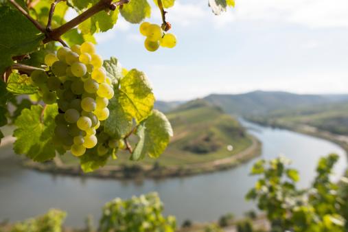 Grape, Moselle Loop, Mosel, Moselschleife, Bremm, Germany.