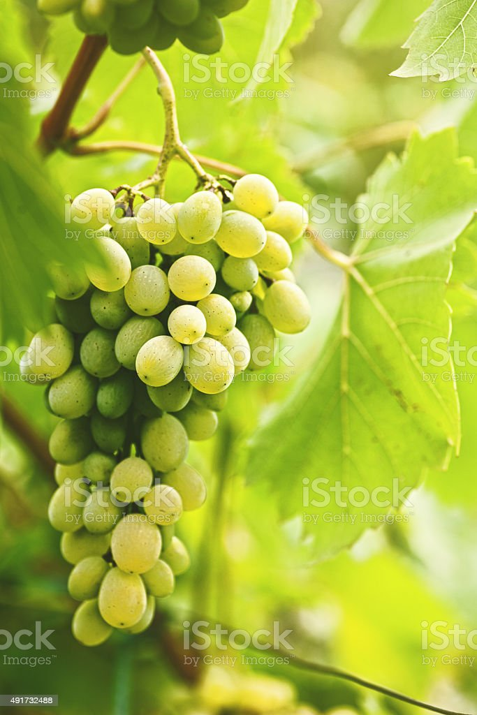 Grape of juicy delicious muscat. Abstract agriculture background stock photo