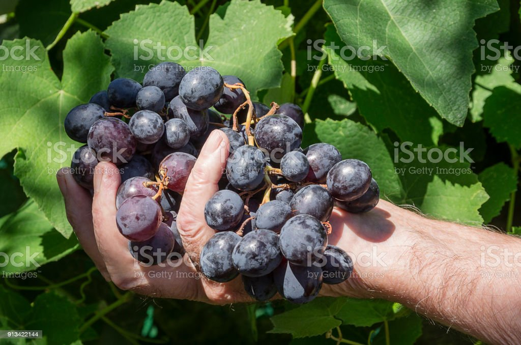 Grape on a hand - foto stock