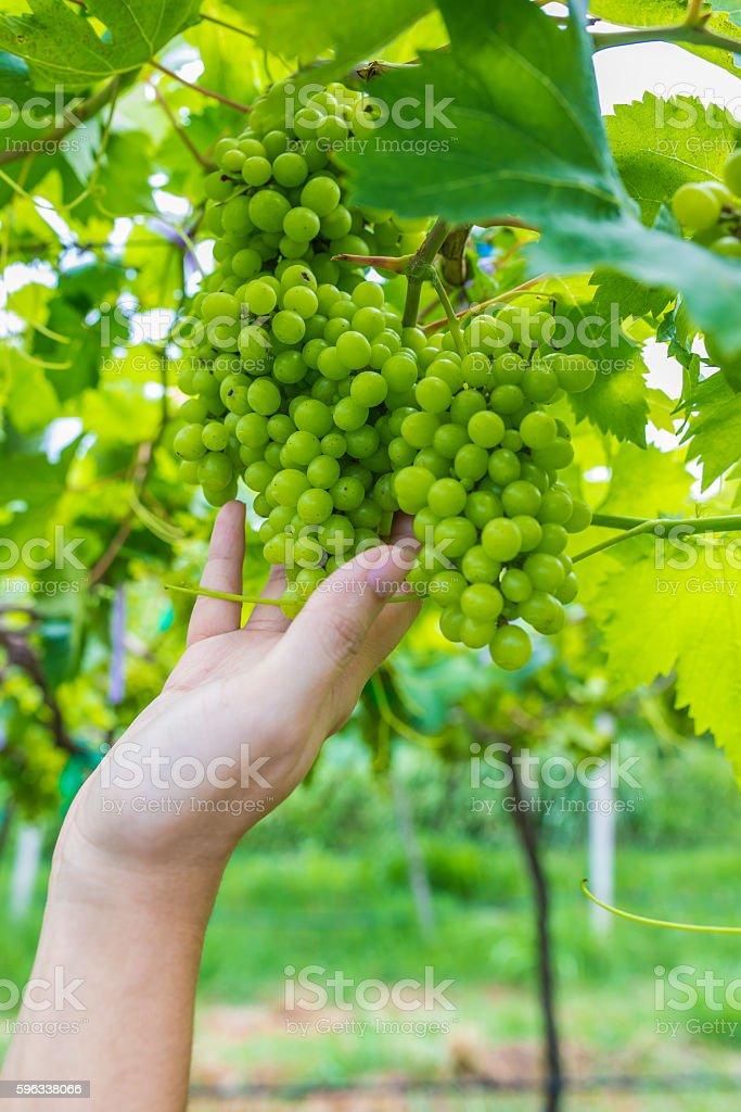 Grape on hand royalty-free stock photo