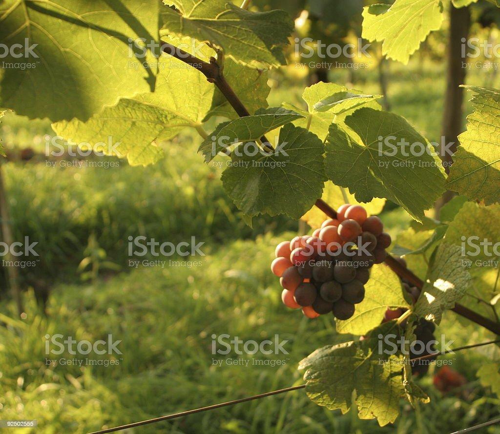 Grape on sun royalty-free stock photo