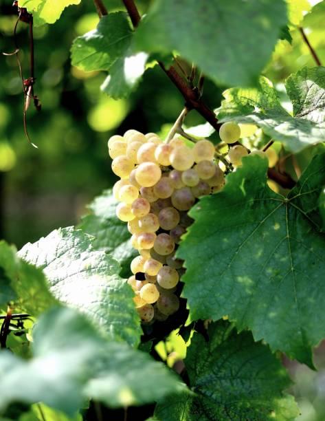Weinlese im Elsass Frankreich – Foto