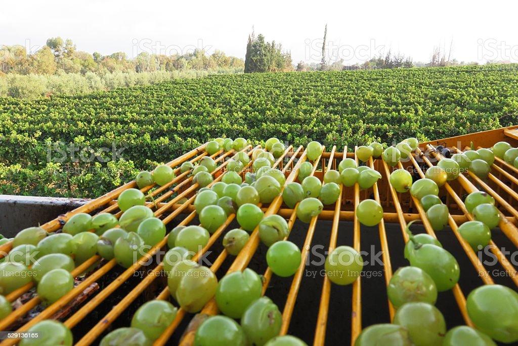 Grape picking machine stock photo