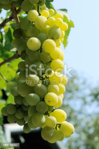 bunch of white muscat grape under vivid sunlight  see other similar images: