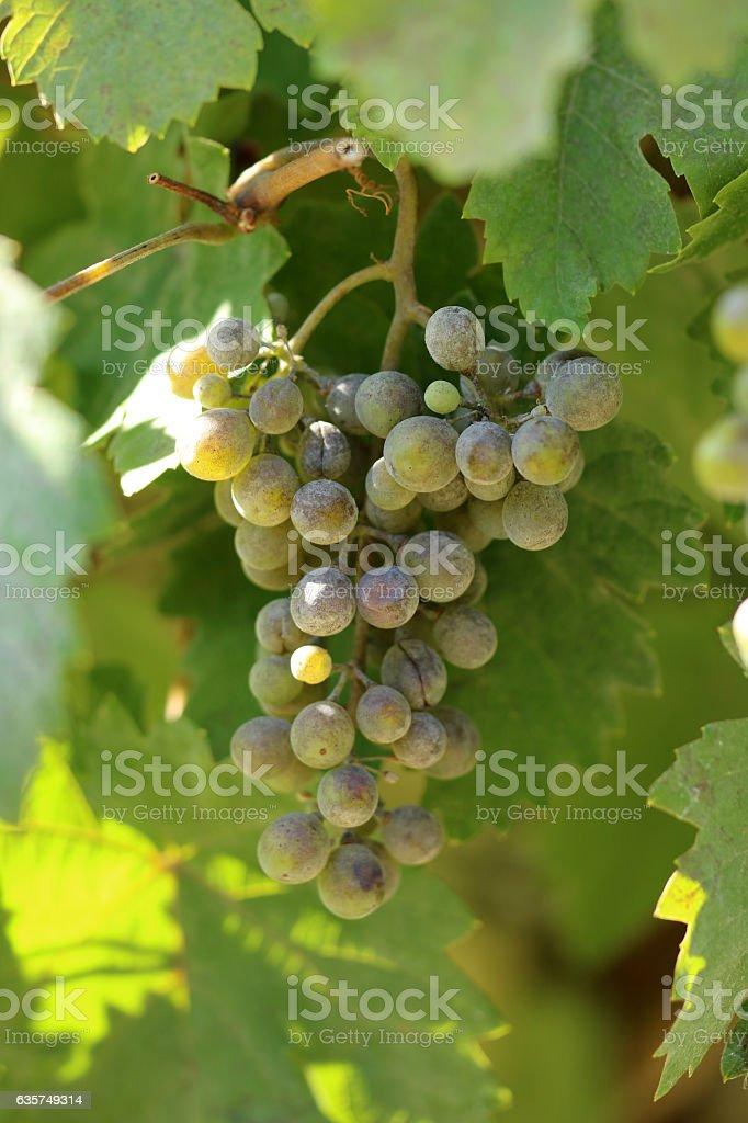 Weintraube stock photo