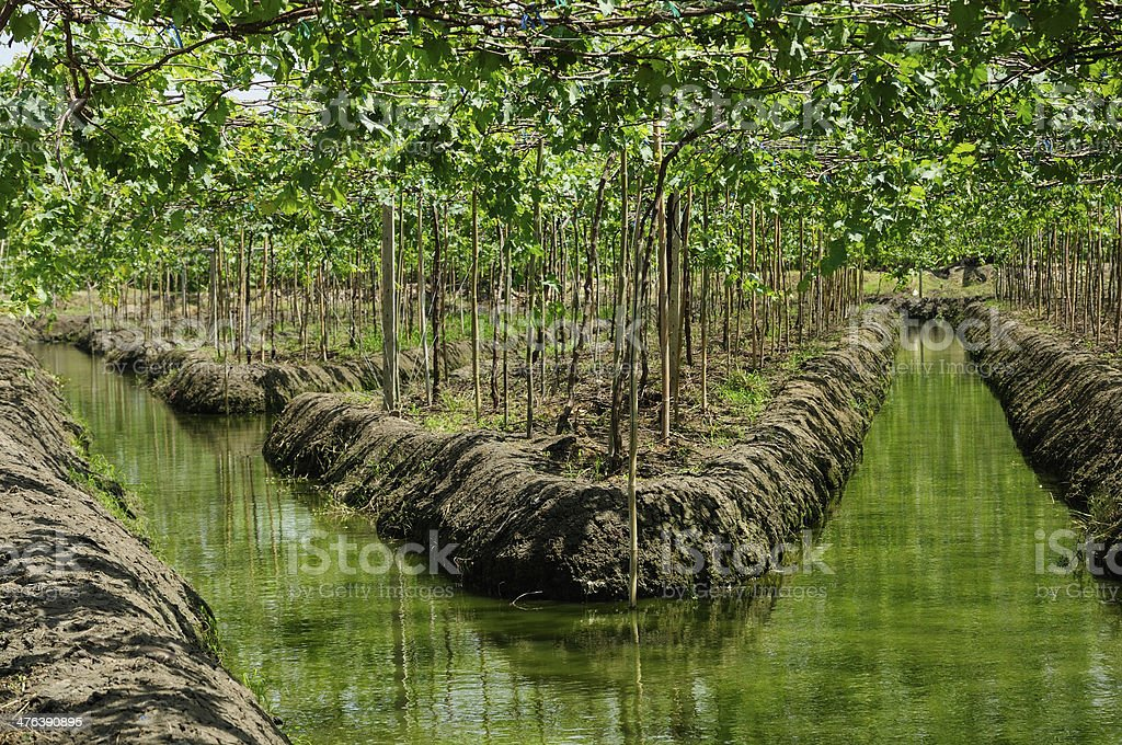 Grape plant / Vineyards and irrigation canals in Thailand royalty-free stock photo