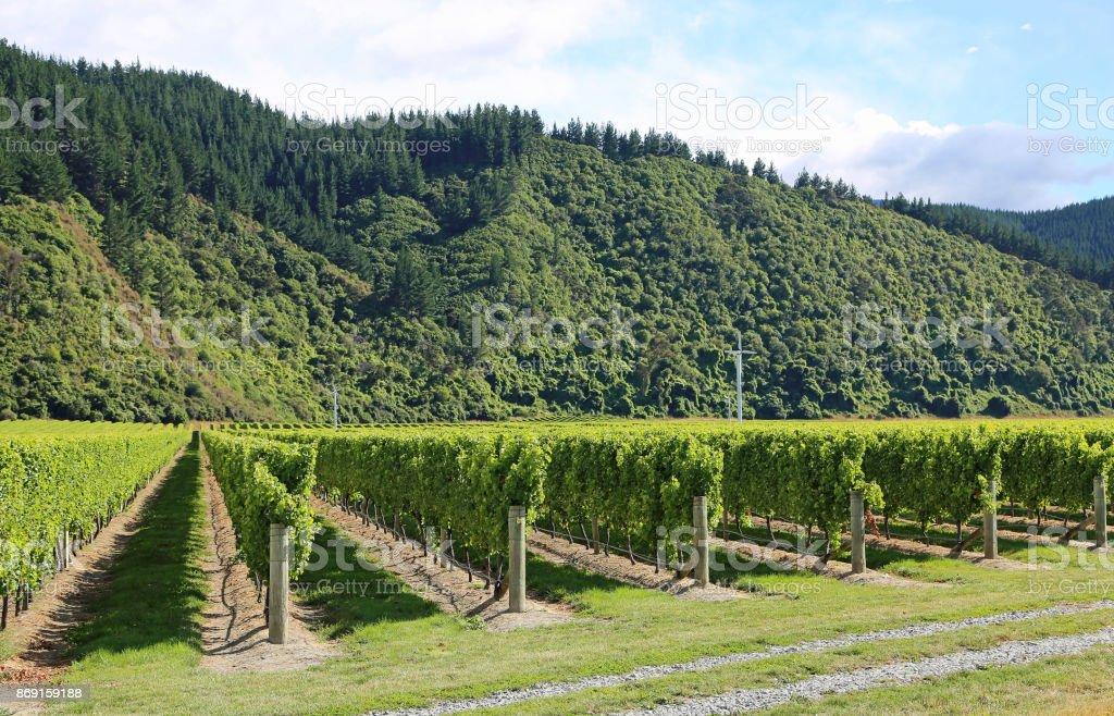 Grape plantation stock photo