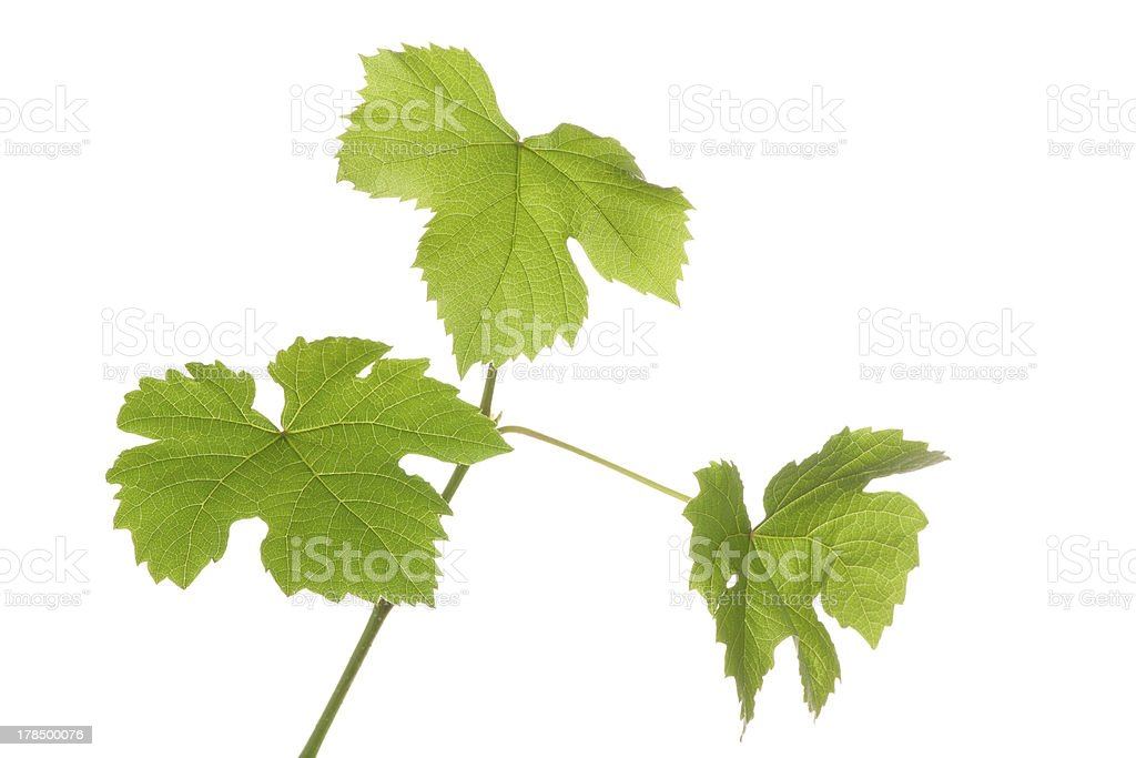 Grape plants with leaves stock photo