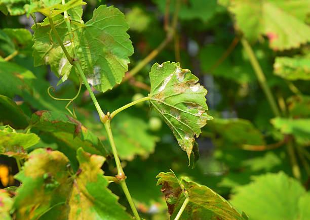 grape powdery mildew. powdery mildew is a fungal disease - meeldauw stockfoto's en -beelden