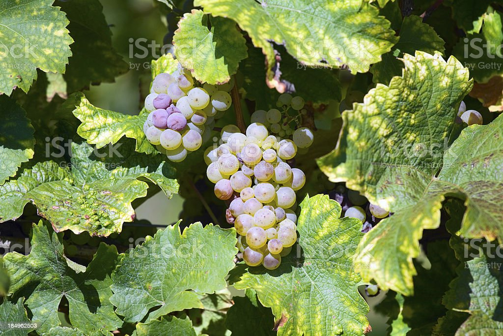 Grape Riesling royalty-free stock photo