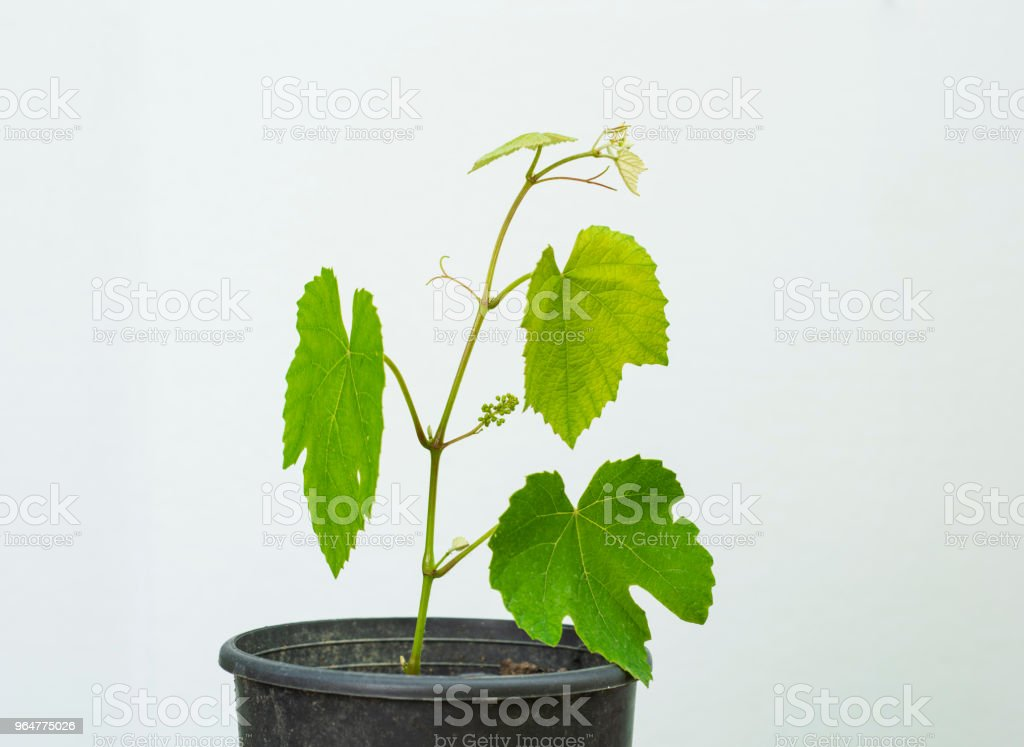 grape saplings royalty-free stock photo
