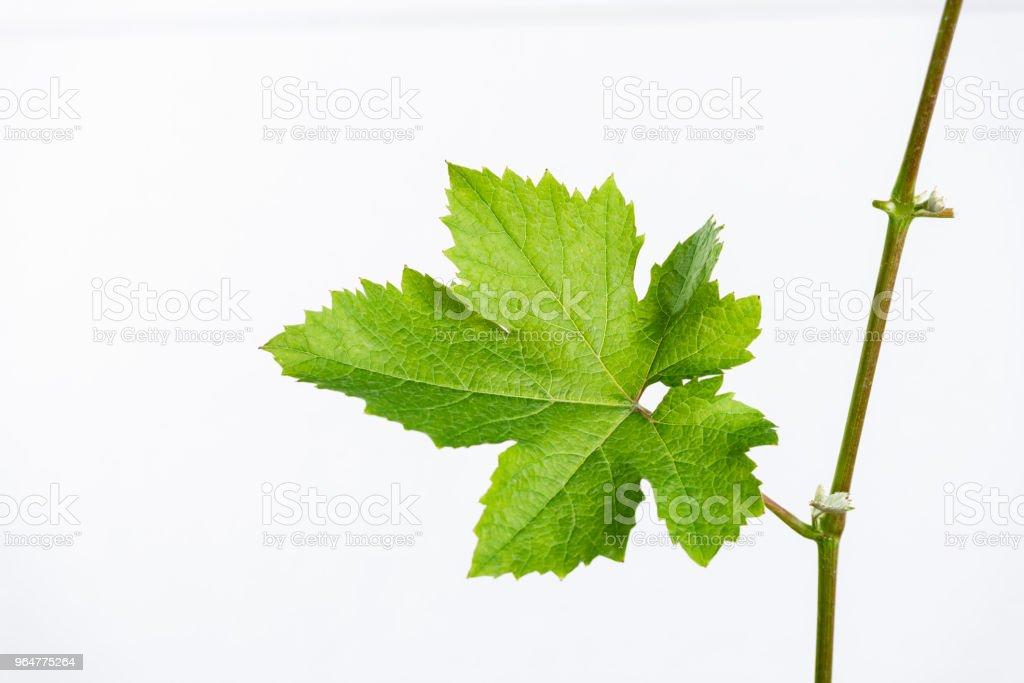 grape saplings royalty-free stock photo