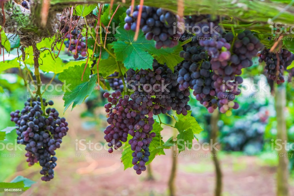 Grape seedless vineyard - Royalty-free Agricultural Field Stock Photo