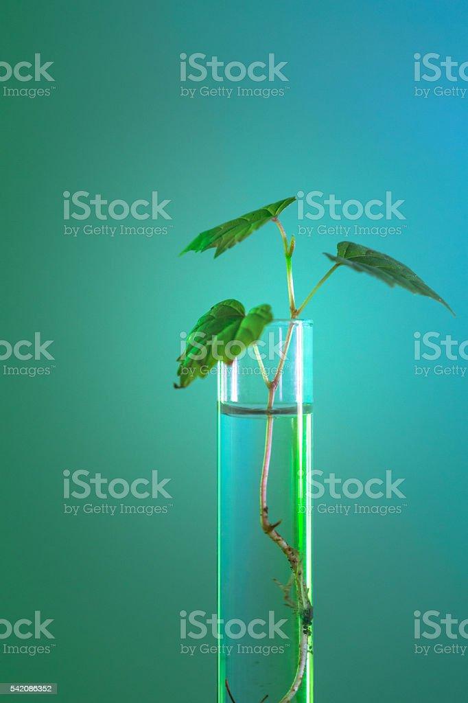 grape seedling in test tube stock photo