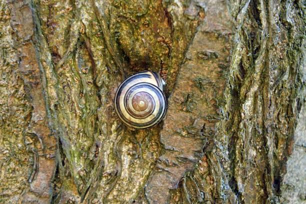 grape snail on a plum swine. the texture of the tree bark. the golden ratio is a powerful composition tool. - golden ratio zdjęcia i obrazy z banku zdjęć