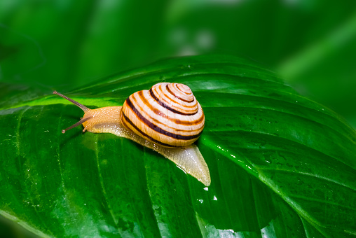 grape snail on the green leaf