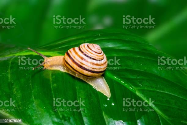 Grape snail on the green leaf picture id1021078396?b=1&k=6&m=1021078396&s=612x612&h=ygftqwck24cxz0bf1bkp7hwvqqayfiorvrydaptyo48=