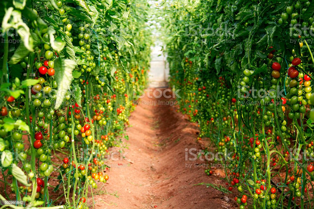Grape tomatoes in greenhouse. stock photo
