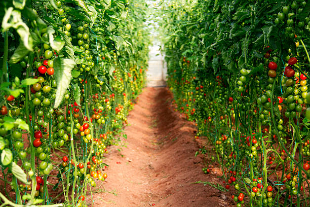 grape tomatoes in greenhouse. - tomato field stock photos and pictures