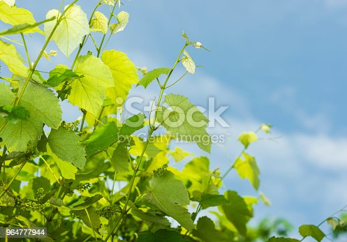 Grape Tree Stock Photo & More Pictures of Agricultural Field