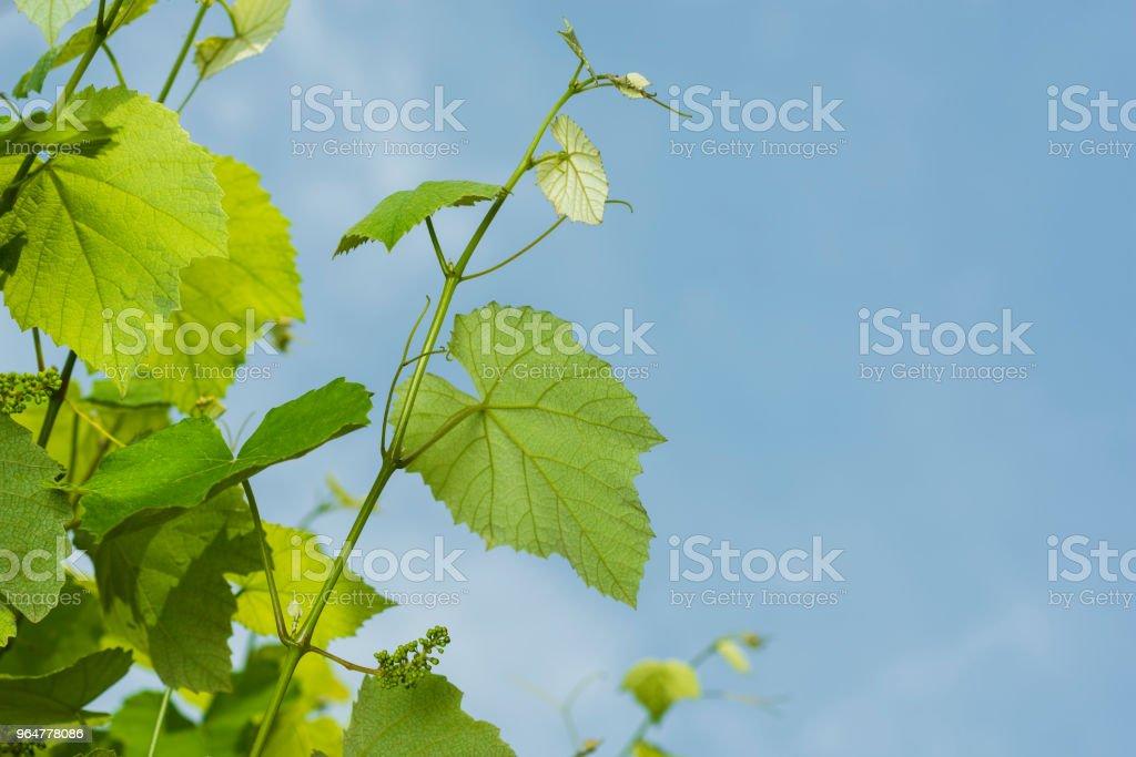 grape tree royalty-free stock photo