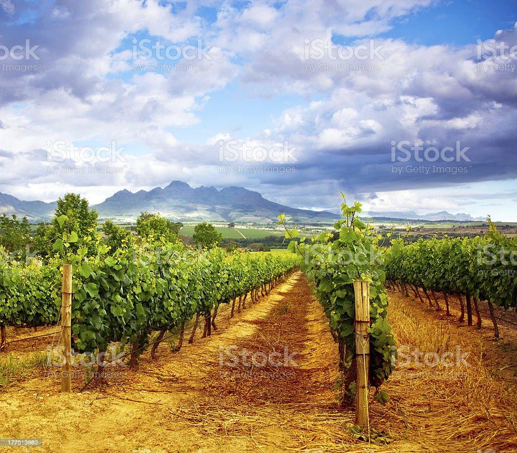Grape valley royalty-free stock photo