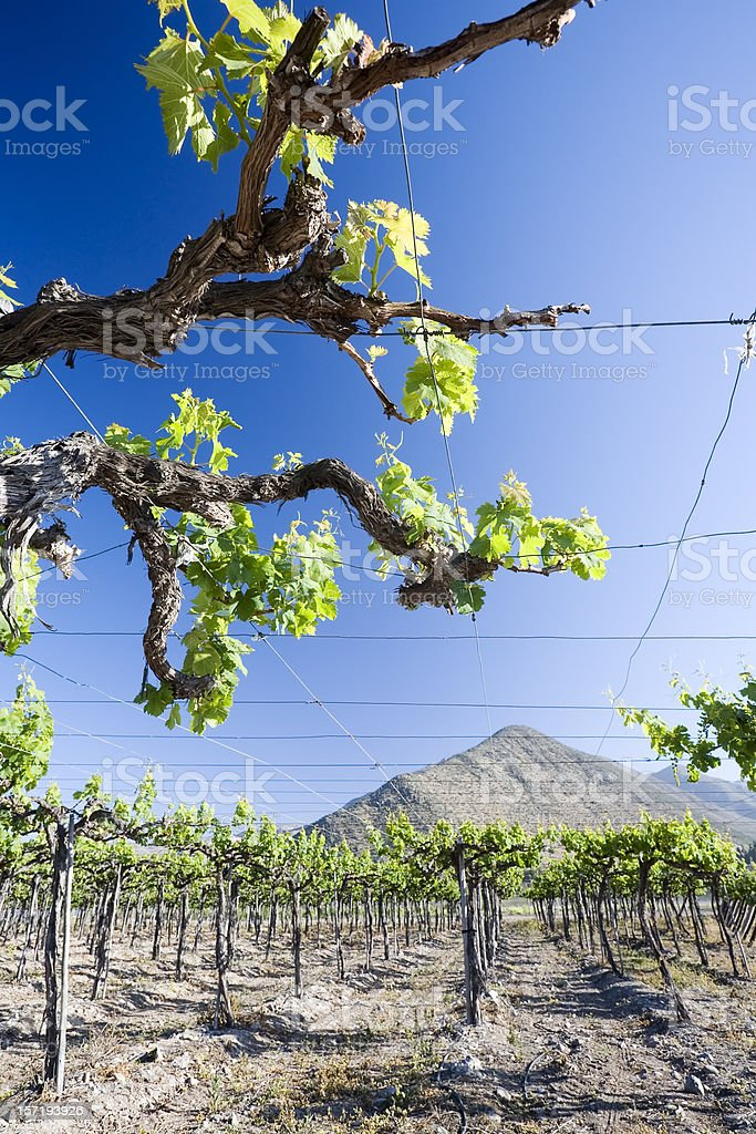 Grape Vine in Chile royalty-free stock photo
