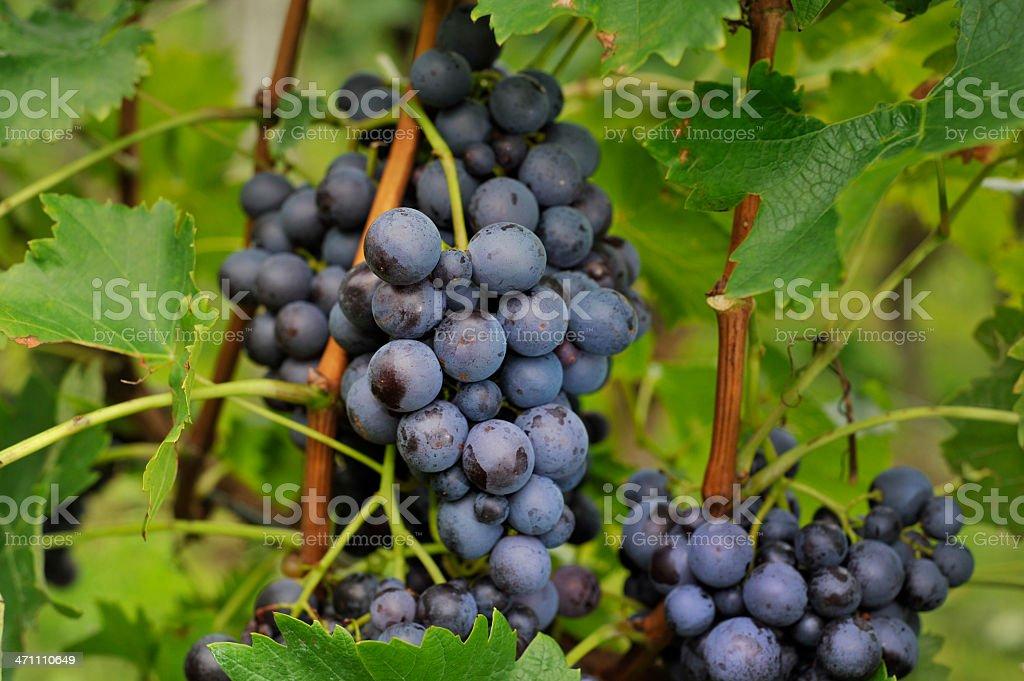 Grape Vine in Germany stock photo