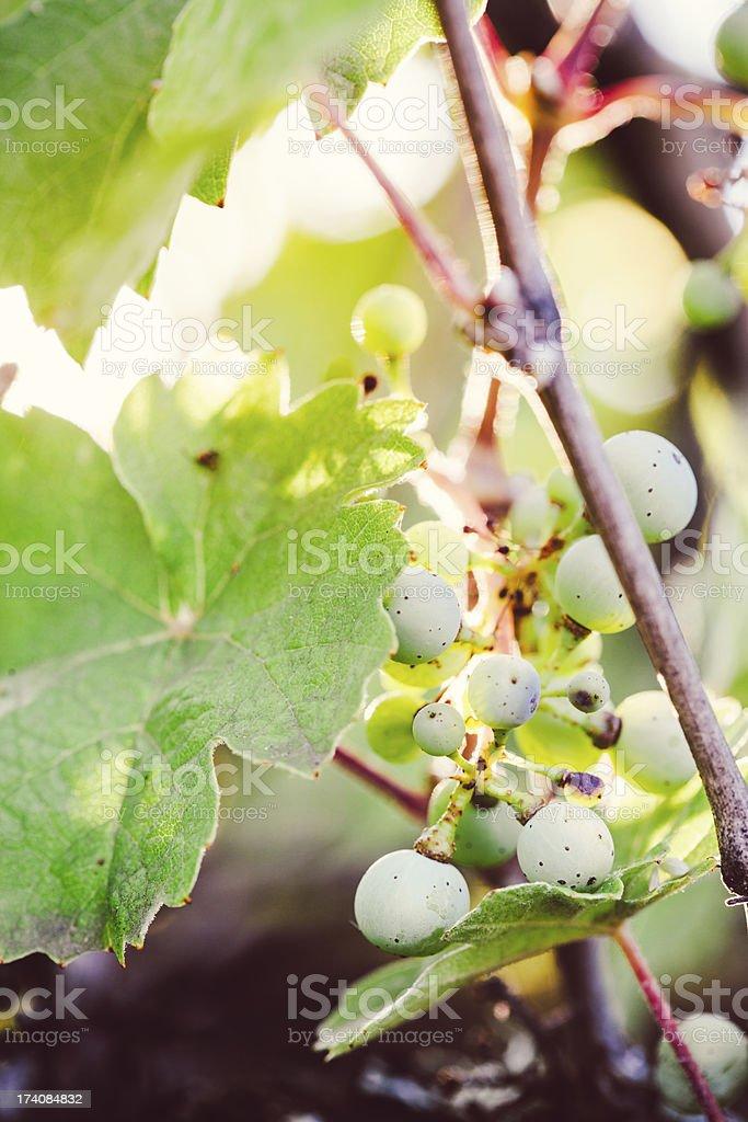 Grape Vine in Morning Sunlight stock photo