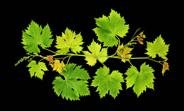 grape vine leaves isolated black background - tree logo stock photos and pictures