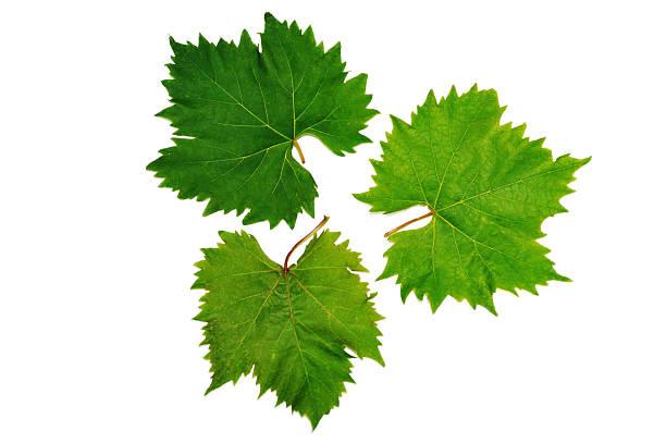 grape vine leaves stock photo